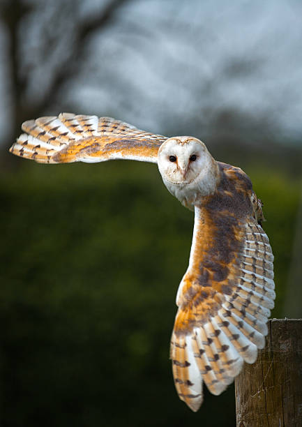 Barn owl in flight picture id491063761?b=1&k=6&m=491063761&s=612x612&w=0&h=izwlrbu8ficwocnhxwoldgv3erlke3gs7mwe5ec y3s=