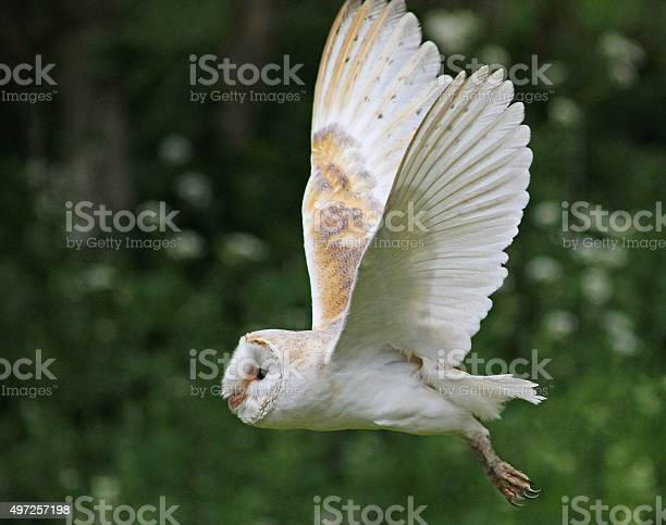 Barn owl in flight picture id497257198?b=1&k=6&m=497257198&s=612x612&h=qivc9zb3nkawdjgtqhdlkatf0gczu pjrhqey4ax4xg=