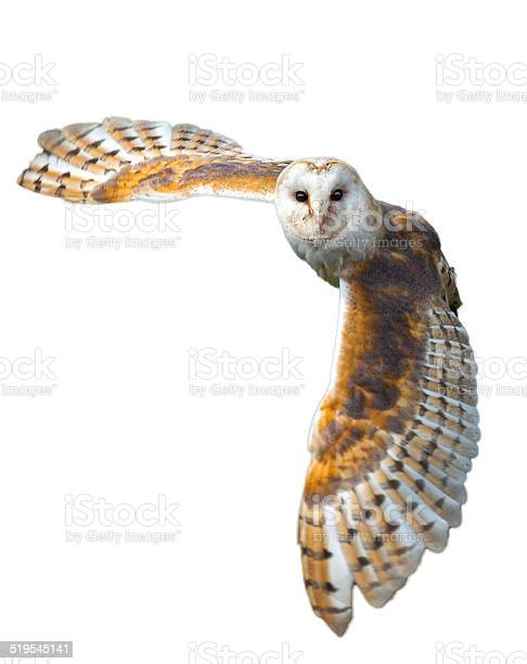 Barn owl in flight picture id519545141?b=1&k=6&m=519545141&s=612x612&h=v1oisgpkhoo7sl8dn9udoxc5jwokbsjb82yzkhjdeby=