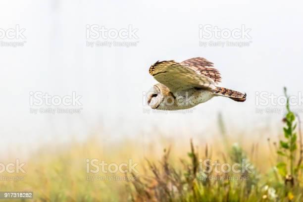 Barn owl in flight picture id917318282?b=1&k=6&m=917318282&s=612x612&h=hjaipzzg8ffpkkxooh1ywwskdhy9uw cjqyzaqwmroo=