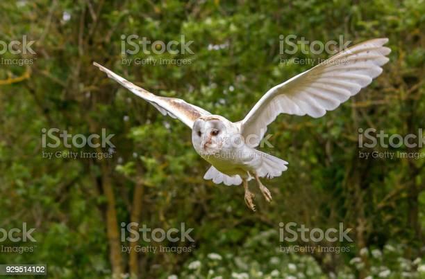 Barn owl in flight picture id929514102?b=1&k=6&m=929514102&s=612x612&h=hubkykxrxxmti5q9pioovgw1ukzffvkb cenrnkysji=
