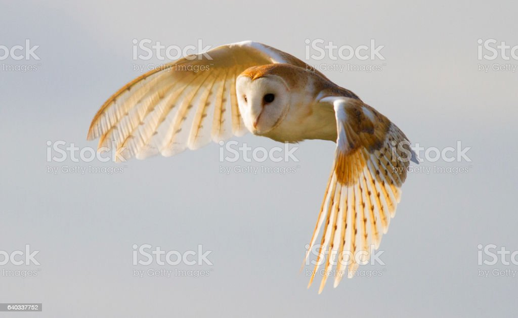 Barn Owl in flight with beautiful light on the feathers stock photo