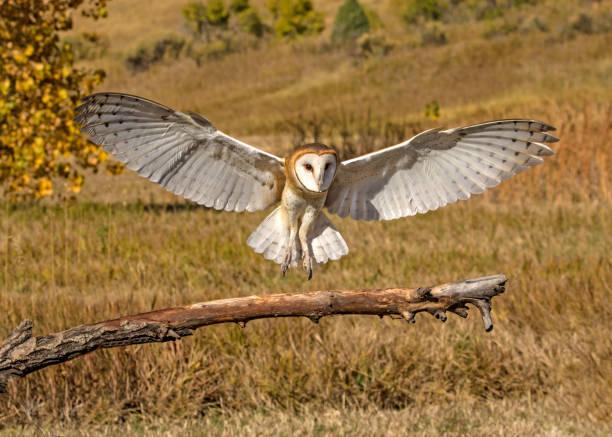 Barn owl landing picture id899585052?b=1&k=6&m=899585052&s=612x612&w=0&h=jovleldg9 1euplmbzqpz9lw7djr7xa93vnswviwdhk=