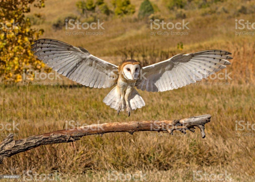 Barn Owl Landing stock photo