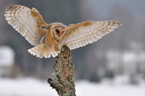 Barn owl landing to spike stock photo