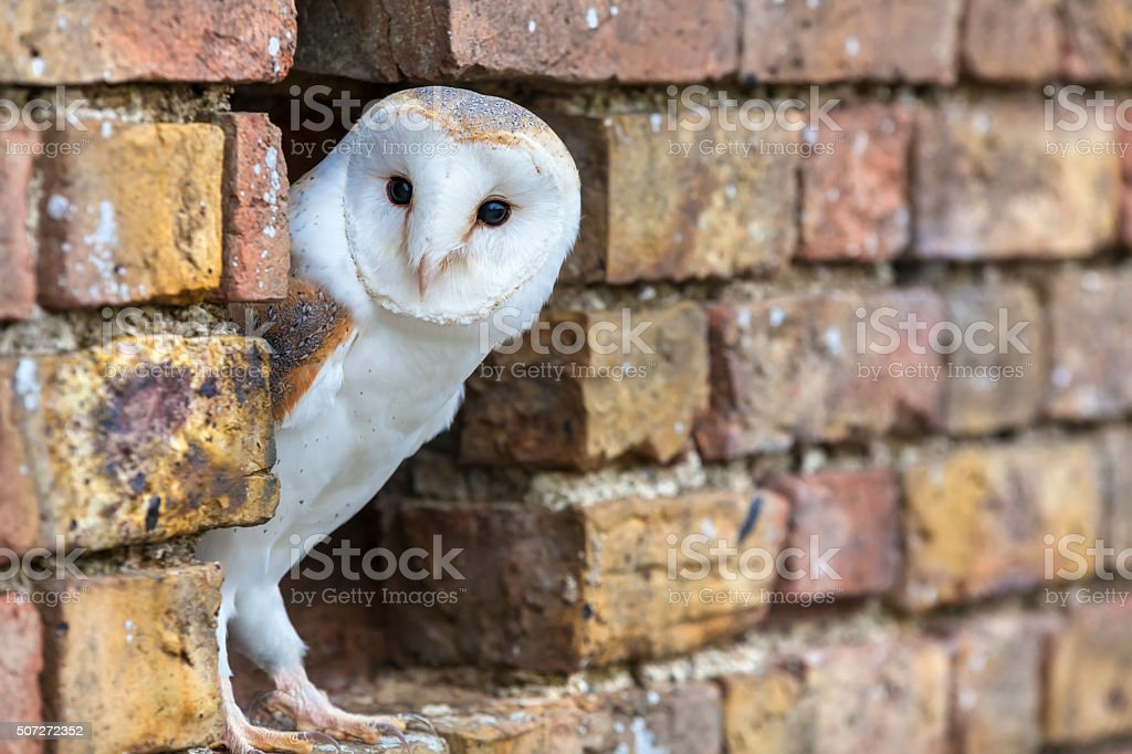 Barn Owl Looking Out of a Hole in a Wall A white Barn Owl looking out from its hole in a wall Animal Body Part Stock Photo