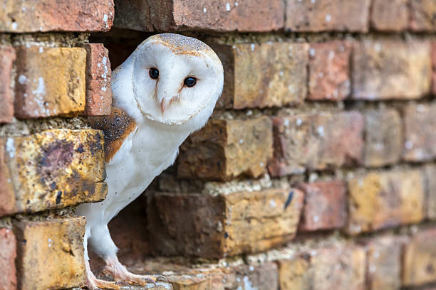 Barn owl looking out of a hole in a wall picture id507272352?b=1&k=6&m=507272352&s=612x612&w=0&h=m7f6ncustz nu vixef3lfz7hp8nuifd8taitf jjes=