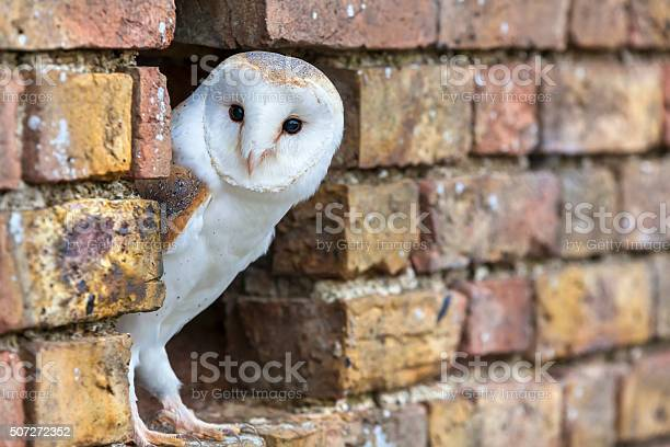 Barn Owl Looking Out Of A Hole In A Wall Stock Photo - Download Image Now