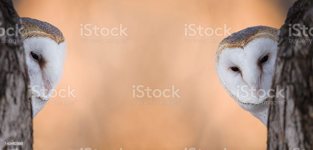 Barn owl neighbors stock photo