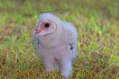 Barn Owl Nestling - I