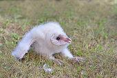 Barn Owl Nestling - III