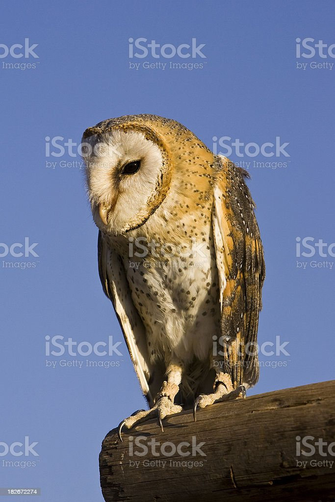 Barn Owl on a Perch stock photo