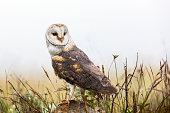 The barn owl logo design. Vector illustration.