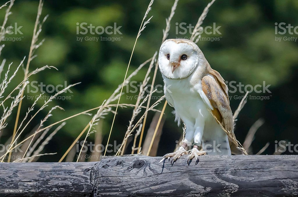 barn owl on a wooden fence in the countryside uk stock photo