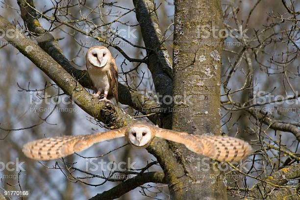 Barn owl pair picture id91770166?b=1&k=6&m=91770166&s=612x612&h=lvjgga534byt5c jdkpqmuiwwnuwxtajchoq3auq1ag=