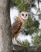 Adult barn owl perched with pine boughs in the background