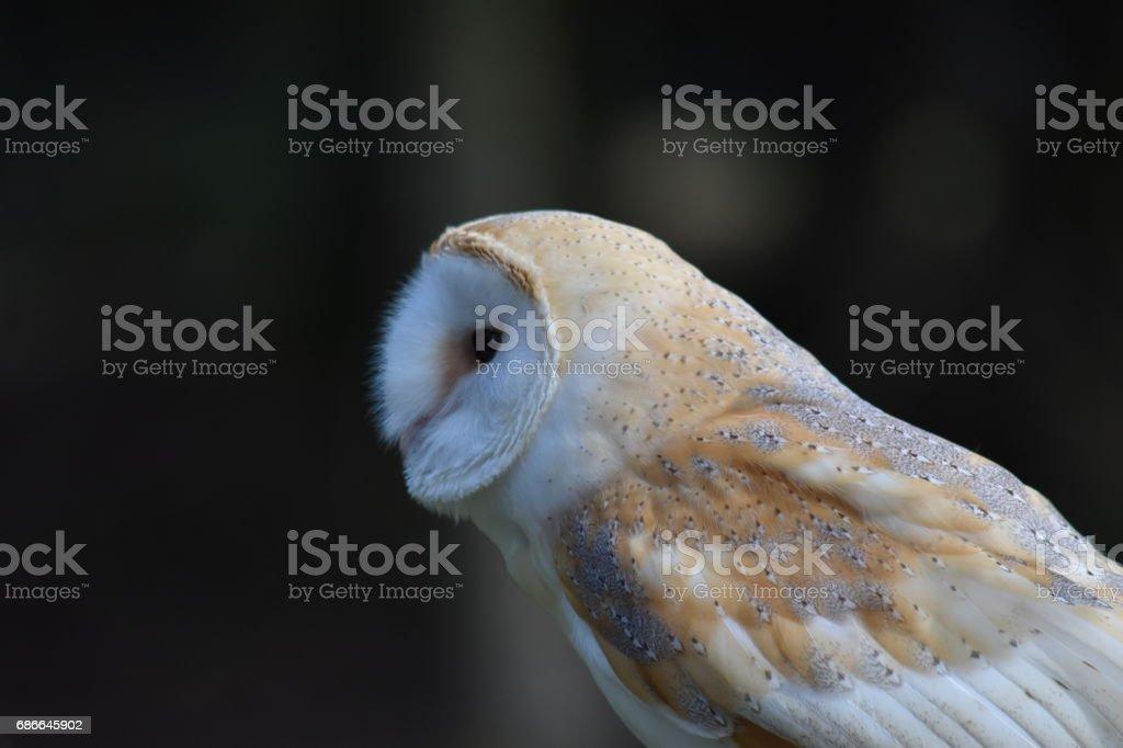 Yeni orman Hampshire UK ağacında peçeli baykuş tünemiş royalty-free stock photo