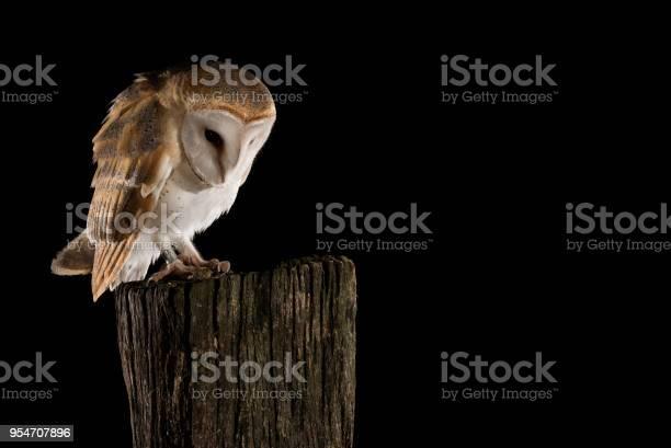 Barn owl perched on a trunk black background tyto alba picture id954707896?b=1&k=6&m=954707896&s=612x612&h=wbr9ieh7dijztezptsanawtbjzj1jfljwyu q9ugo8q=