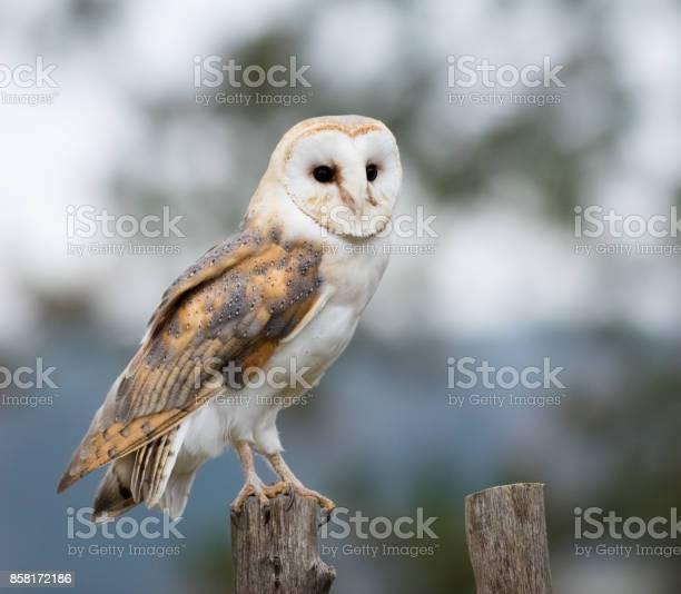 Barn owl perches on a fence post picture id858172186?b=1&k=6&m=858172186&s=612x612&h=ba3ytuhlmz 8o 9zc5a2qxdg q3xklsuyvvipevuqg0=
