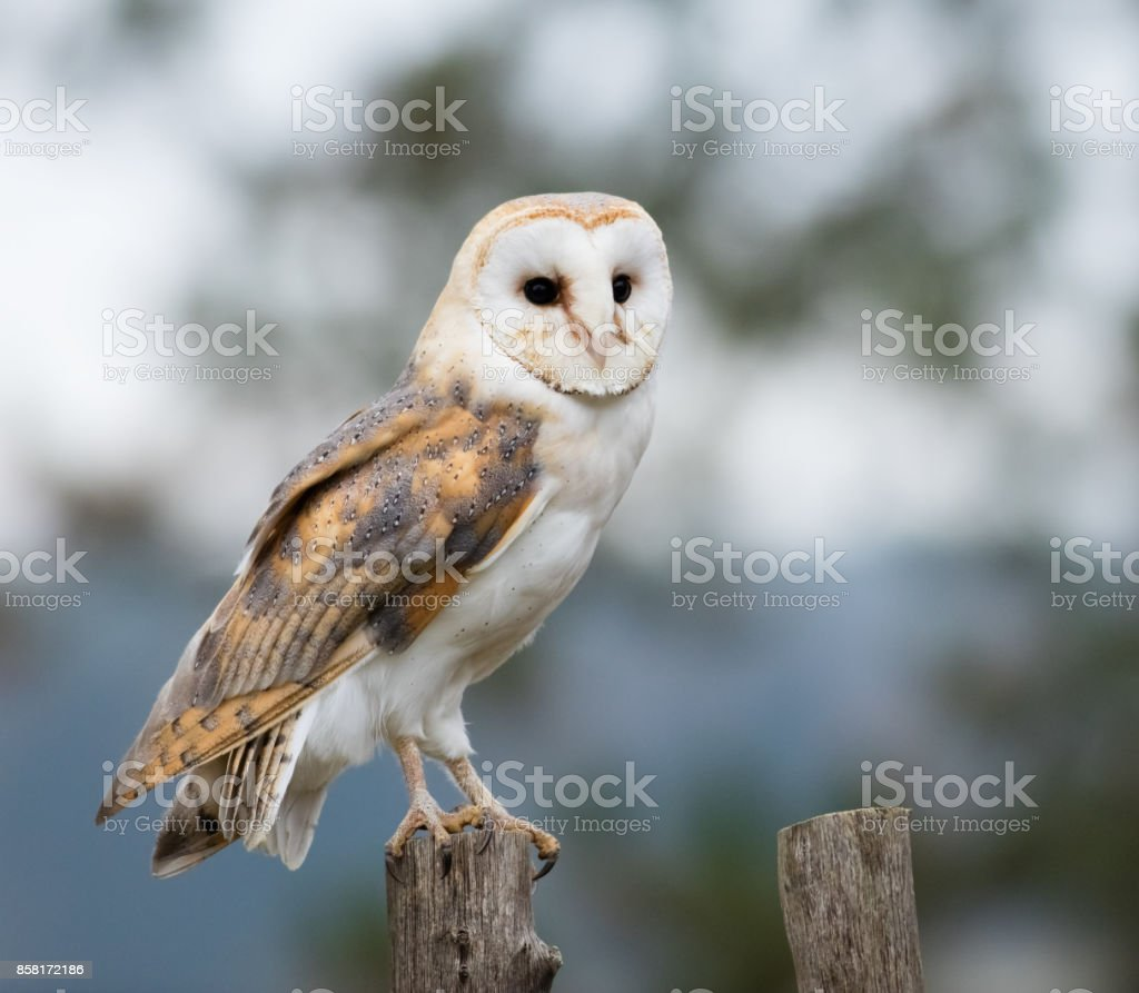 A Barn Owl perches on a fence post stock photo