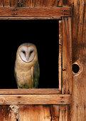 Barn Owl, Tyto alba, 4 months old, flying against white background
