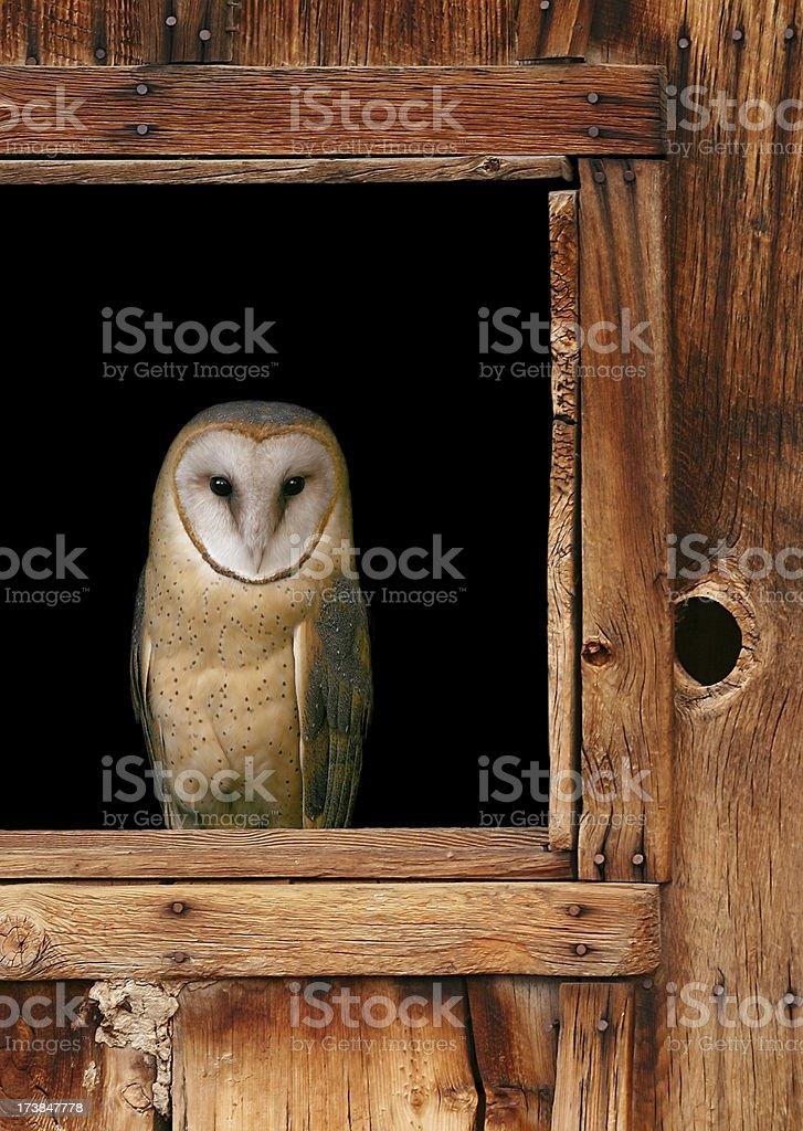 Barn Owl Perching stock photo