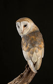 Barn owl with wings fully stretched