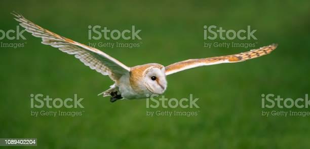 Barn owl picture id1089402204?b=1&k=6&m=1089402204&s=612x612&h=jvwgaujr1rkdezti3s 1imelztmoapjk55yeya94gkq=