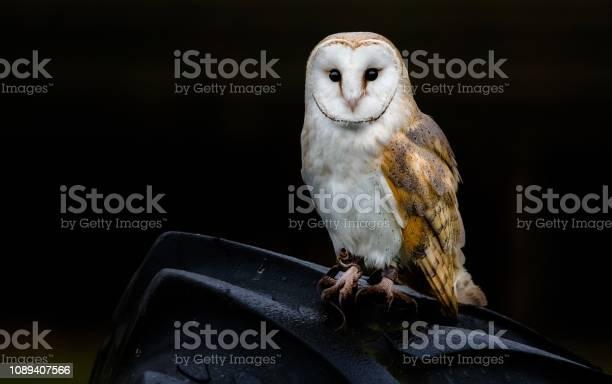 Barn owl picture id1089407566?b=1&k=6&m=1089407566&s=612x612&h=7x2fk1cmkslxegfz1wjl6iz8qhepguvd10j0guskvsg=