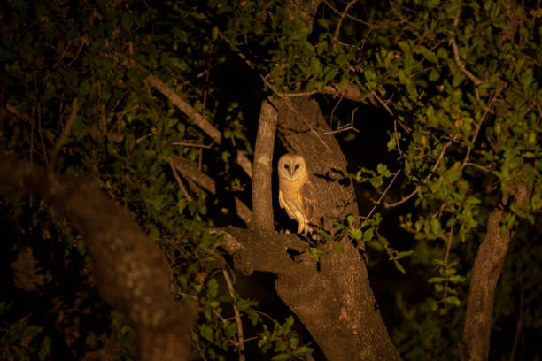 Barn owl – zdjęcie