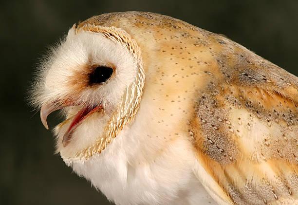 Barn Owl Beak