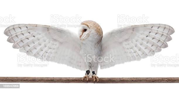 Barn owl picture id169940966?b=1&k=6&m=169940966&s=612x612&h=wi6tfflg2von1lhbgbull1y1owtlvjv7seqdn2ehsgu=