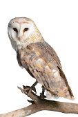 Barn Owl (Tyto alba) isolated on white.