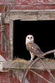 full body shot of a barn owl