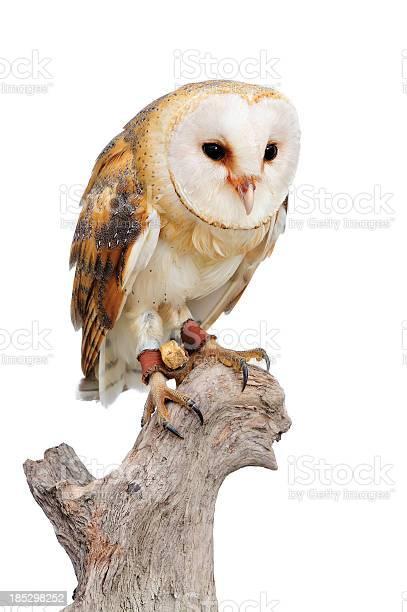 Barn owl picture id185298252?b=1&k=6&m=185298252&s=612x612&h=66ezbfueub3yxoetomdacf8di8g94tf7kour eymffc=