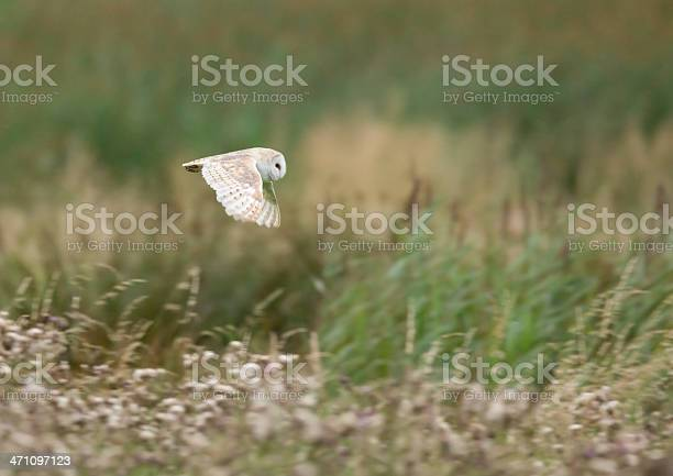 Barn owl picture id471097123?b=1&k=6&m=471097123&s=612x612&h=ge12fejdojlhsorkjplewa8m7dccbiq1brw ug1nreq=