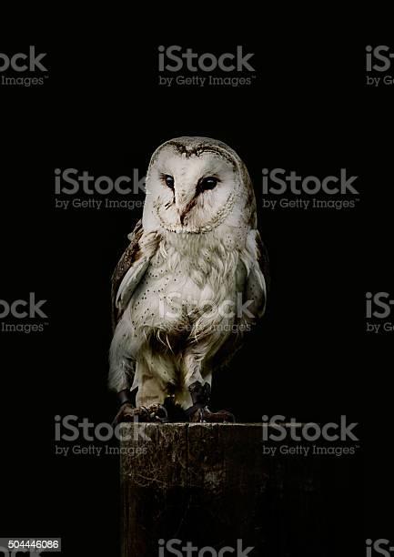 Barn owl picture id504446086?b=1&k=6&m=504446086&s=612x612&h=x98n ffcvcy8xdk9loj9oxibbqtp7q3dzvqaai5ftds=