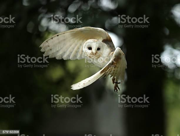 Barn owl picture id579163358?b=1&k=6&m=579163358&s=612x612&h=y xxfaupulbtykaroqrvmp8utvsxohifcvqt s6ccjs=