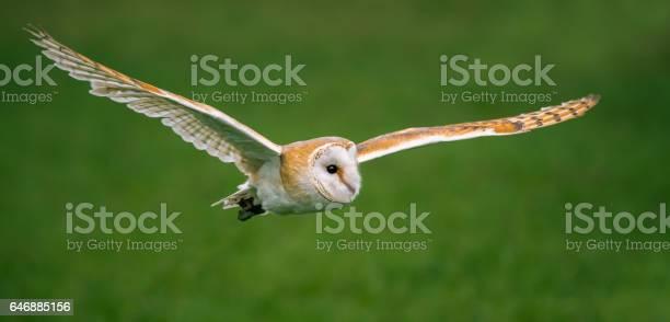 Barn owl picture id646885156?b=1&k=6&m=646885156&s=612x612&h=h3dpo2ncbep7w70ruodx8l4x9heftjisne2o de9f9i=