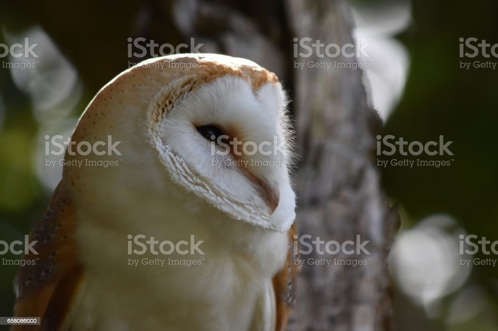 Barn Owl royalty-free stock photo