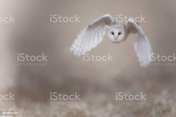 Barn owl picture id824804320?b=1&k=6&m=824804320&s=612x612&h=cwcgs0tjvdabsdoovbhrc2hlawcxzj49mzzjmsh9p0u=