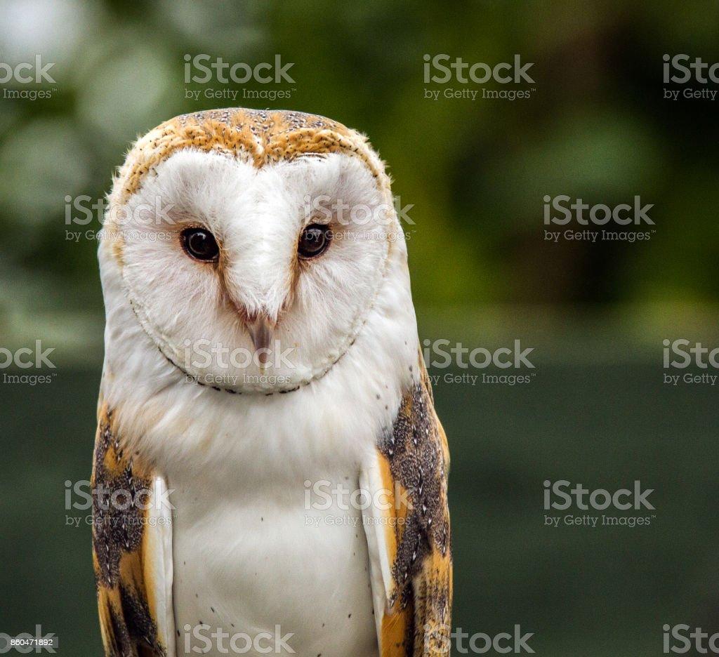 Barn Owl. stock photo