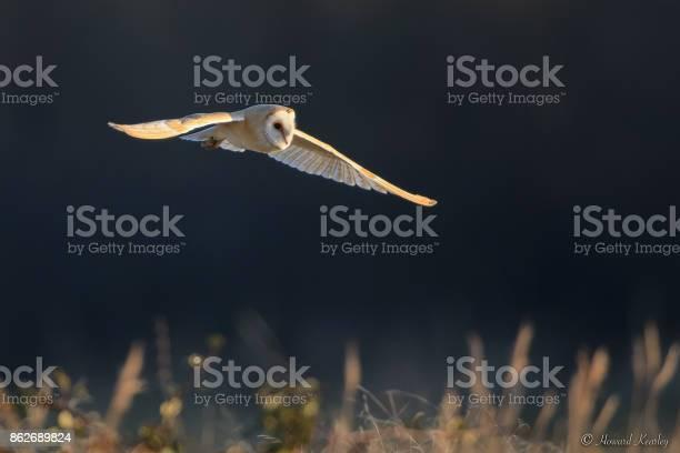 Barn owl picture id862689824?b=1&k=6&m=862689824&s=612x612&h=ekvpq7cq2lceccdk51wifaduoqdljifv4hvyq5hcxte=