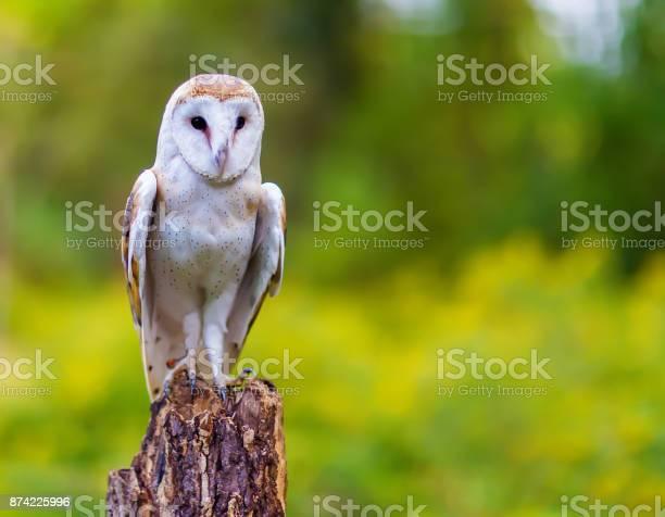 Barn owl picture id874225996?b=1&k=6&m=874225996&s=612x612&h=smz7shyyhh4lahtbqxgpjiy hz35i1li87sttkupczw=