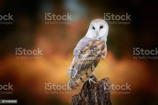 Barn owl picture id874484940?b=1&k=6&m=874484940&s=612x612&h=1 gy2hxlrkmbvfvgdw8yl1ktd9ivabsiv5cvc agp1s=