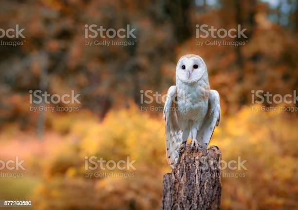 Barn owl picture id877260580?b=1&k=6&m=877260580&s=612x612&h=o dw6foa gg1hyiewbib883niobpevwhcnryxiudq1c=