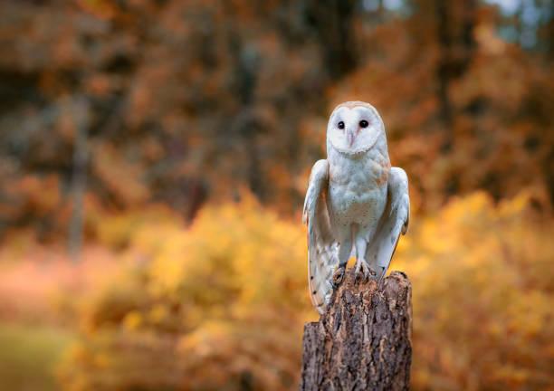 Barn owl picture id877260580?b=1&k=6&m=877260580&s=612x612&w=0&h=ju6ygbllxwu yuieax1skmrv yr k94quh8ghjokdac=