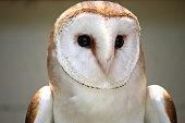 A barn owl in mid air.