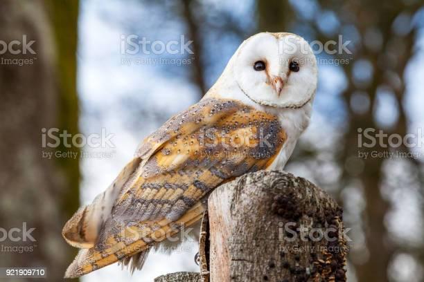 Barn owl picture id921909710?b=1&k=6&m=921909710&s=612x612&h=bggyhygq3na16cxwmuoptto0qfuvayswdfv5 jvfxj8=