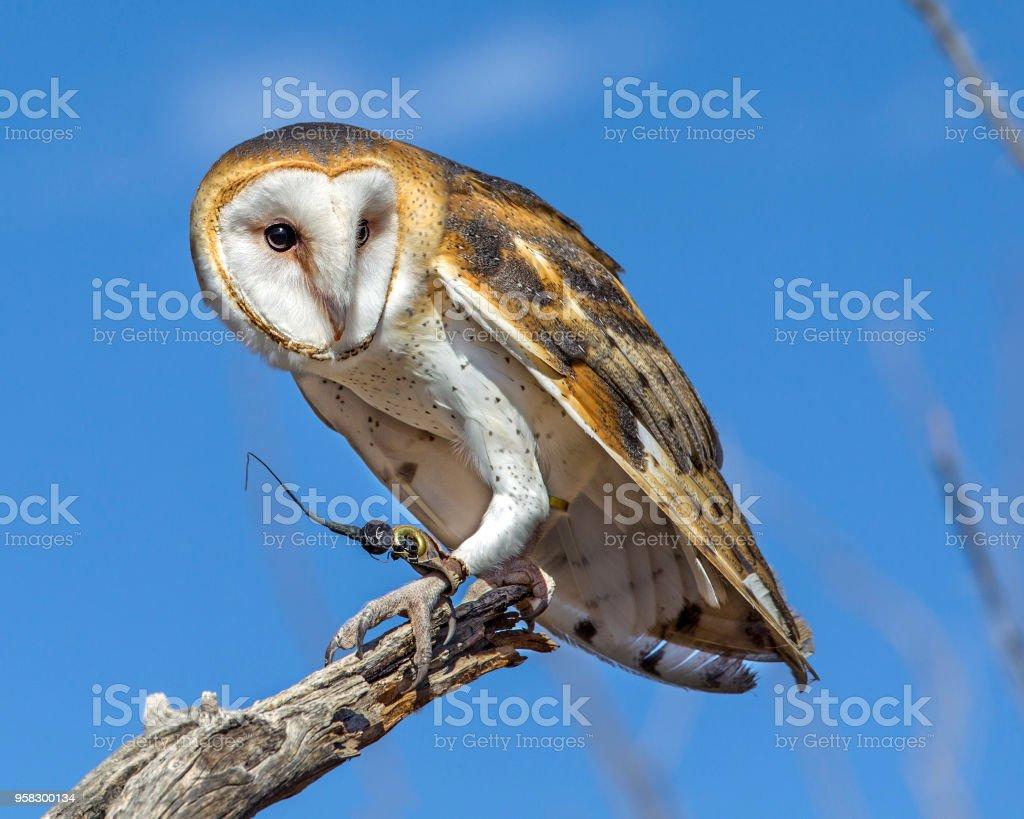 Barn Owl stock photo